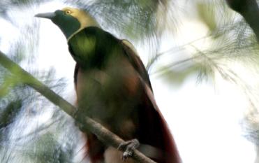 野鳥観察 アカカザリフウチョウ